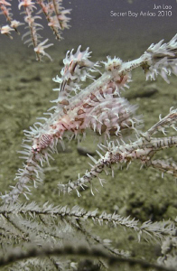 Pregnant Harlequin Ghostpipefish with spouse by Jun Lao