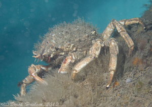Spiny spider crab on pier leg. Trefor. D3, 60mm. by Derek Haslam