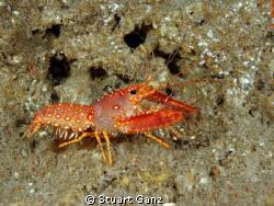 Hawaiian lobster - Photo taken in the Makaha Caverns of O... by Stuart Ganz