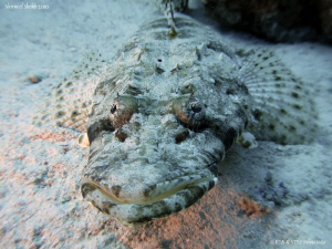 Face to face with a crocodilefish. Canon G10. by Bea & Stef Primatesta