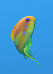 Female Anthias swimming above the Wreck of the Kingston. by Paul Colley