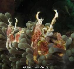 Crabs feeding away . by Jacques Vieira