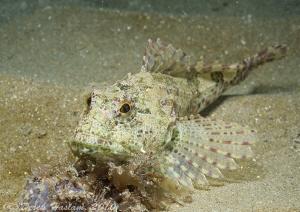 Long spined scorpion fish. Trefor pier. D3, 60mm. by Derek Haslam