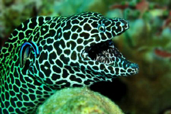 Honeycomb Moray awaiting cleaner wrasse by Paul Colley