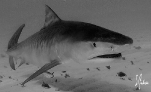 An interested Tiger Shark passes by us and gives us a clo... by Steven Anderson