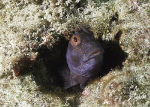 This image of a Blenny was taken at the Blue Heron Bridge... by Steven Anderson