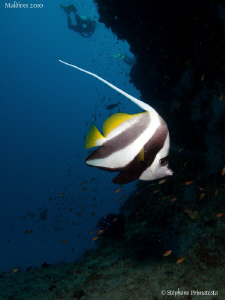 Bannerfish. Canon G10 & Dyron 12 mm Fisheye. by Bea & Stef Primatesta