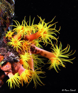 Yellow sea anemones.......and some small guests.  (Comp... by Marco Faimali