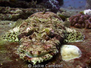 Crocodile fish on the Thistlegorm, taken with Canon ixus ... by Jackie Campbell