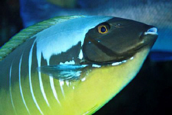 This unicornfish on a cleaning station was displaying an ... by Paul Colley