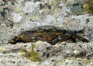 Shore crab. Trefor pier. D3,60mm. by Derek Haslam