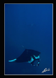 2 giant mantas swimming in Koh Bon by Adriano Trapani