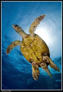 hawksbill turtle by Dray Van Beeck