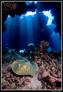 Blue spotted stingray in caves. by Dray Van Beeck