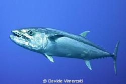 Doogtooth tuna @ LayangLayang, Malaysia. by Davide Vimercati
