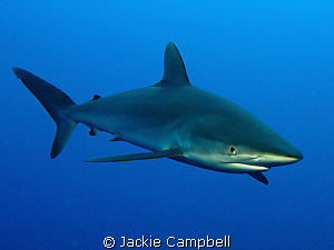 Silky sharks are really beautiful and were very curious, ... by Jackie Campbell