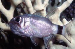 Sleeping fish. Night shot.Red Sea. Nikonos V, 35 mm lens ... by Lyubomir Klissurov