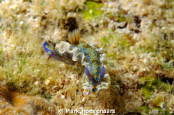 Gold-crowned Sea Godess taken at Front Porch Dive Site in... by Mark Hoevenaars