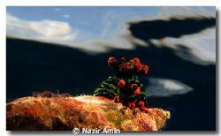 Chromodoris Magnifica Taken at Tenggol island witn Canon... by Nazir Amin