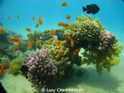 A beautiful coral scene, Neweiba 2010 by Lucy Chamberlain