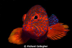 Coral Cod portrait, Sudan - this shot took 20 minutes, mo... by Michael Gallagher