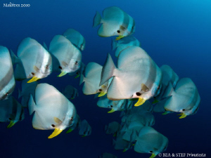 Batfish. Canon G10, dyron 12mm fisheye. by Bea & Stef Primatesta