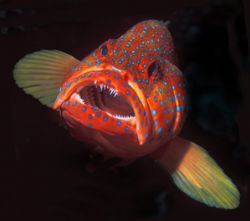 Red Hind taken in Red Sea 2004. Nikon F90x with twin flash. by Len Deeley