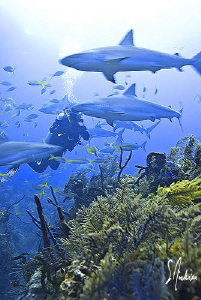 Overwhelmed by Reef Sharks this diver seems to be enjoyin... by Steven Anderson