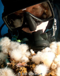 My buddy checks out a nudibranch while diving an oil rig ... by Bill Stewart