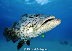Potato Cod with little yellow friend, Great Barrier Reef by Michael Gallagher