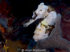 White Seahorse  White seahorses usually dont last long,... by Arun Madisetti