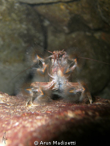 """Banana shrimp feeding. Lacking """"claws"""" they have filter ... by Arun Madisetti"""