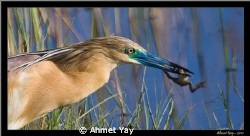 Squacco Heron by Ahmet Yay