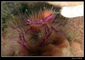 Pink squat lobster in Alcoy, Cebu by Daniel Strub