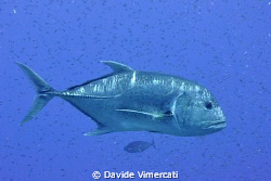Giant trevally - Layang Layang, April 2010 by Davide Vimercati