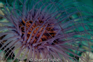 Tube Anemone on the Hideaway House Reef. by Sharon English