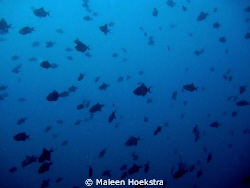 Triggerfish ...... big and small by Maleen Hoekstra