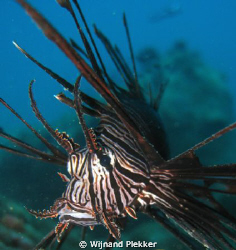 Lionfish in Nha Trang by Wijnand Plekker
