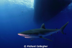 Time for a shark shot! Silky shark cruising underneath Ro... by Michael Gallagher