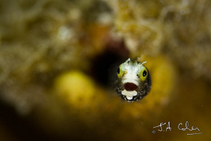 Spinyhead Blenny by Julian Cohen