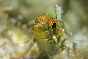 Blenny ( Tripterygion delaisi )  by Roland Bach