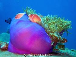 Clownfish at Nha Trang by Wijnand Plekker
