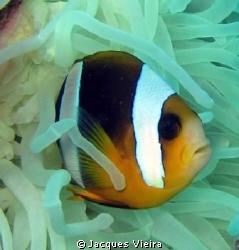 Nemo on Le Licorne , no external flash by Jacques Vieira