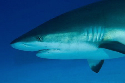 Caribbean Reef Shark off Grand Cayman by Paul Colley