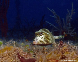 Juvenile Trunk Fish at the Halliburton wreck by Susan Beerman