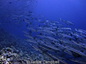 Barracuda train...... canon ixus , fisheye lens, mwb. by Jackie Campbell