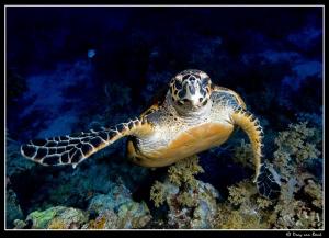 hawksbill turtle III by Dray Van Beeck