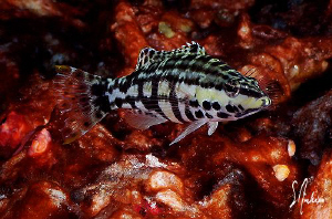 This image of a Harlequin Bass was taken last year during... by Steven Anderson