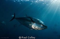 A big Bluefin Tuna. by Paul Colley