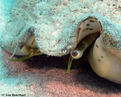This conch is really keeping an eye on me. by Susan Beerman